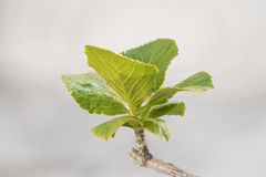 Green Leaves Close Up Photo. Isolated green leaves close up photo agains blur grey background Royalty Free Stock Photos