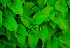 Green leaves closeup Royalty Free Stock Photos