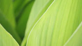 Green leaves. Closeup of green Iris leaves, different shades of green Royalty Free Stock Photos