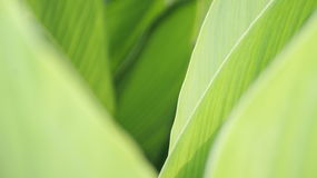 Green leaves. Closeup of green Iris leaves, different shades of green Stock Photography