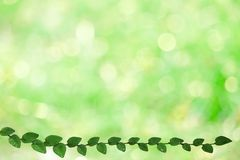 Green leaves of Coatbuttons nature border and blur green bokeh. Background ficus pumila tridax procumbens abstract aged architecture backdrop beauty cement royalty free stock photo