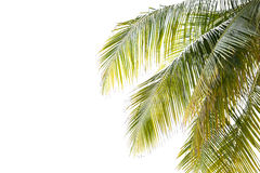 Green Leaves of coconut tree,coconut leaf Royalty Free Stock Image