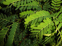 Green leaves. Collection of soothing green leaf from a tamarind tree Royalty Free Stock Photos