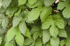 Green leaves of common hop climbing plant Royalty Free Stock Photo