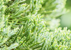 Green leaves of coniferous tree - Araucariaceae. Stock Photos