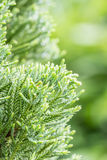 Green leaves of coniferous tree - Araucariaceae. Royalty Free Stock Photography