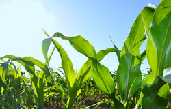 Green leaves of corn in blue sky Royalty Free Stock Images