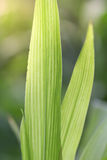 Green leaves of corn. plant with large long leaves Royalty Free Stock Photos