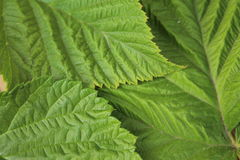 Green leaves corrugated texture for abstract background close up. Raspberry leaves with pattern Royalty Free Stock Photos