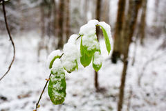 Green leaves covered with first snow Royalty Free Stock Images