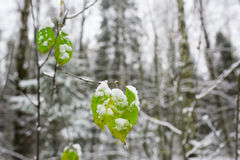 Green leaves covered with first snow Royalty Free Stock Photos