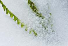 Green leaves are covered with fluffy, shiny snowflakes Stock Photo