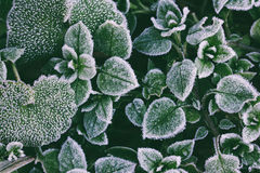 Green leaves covered with frost closeup, top view Royalty Free Stock Photography