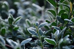 Green leaves covered with hoarfrost stock image