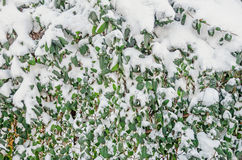 Green leaves covered with snow and ice, snow tree, pattern, texture, close up Stock Photography