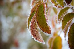 Green leaves covered with snow royalty free stock photography