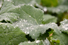 Green leaves covered with water drops rape. Royalty Free Stock Photos