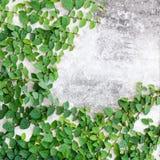 Green leaves creeper plant Stock Photo