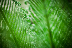 Green leaves of cycad Stock Images