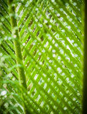 Green leaves of cycad Stock Photo
