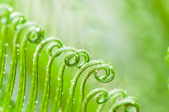 Green leaves of cycad Royalty Free Stock Image