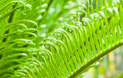 Green leaves of cycad Stock Photos