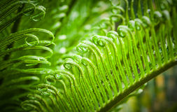 Green leaves of cycad Stock Image