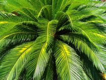 Green leaves of cycad palm tree plant use for garden and park decorated summer holiday Stock Photo