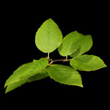 Green leaves on a dark background Royalty Free Stock Images