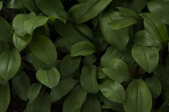 Green leaves in dark tone background Stock Photos