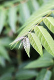 Green leaves detail Royalty Free Stock Photo