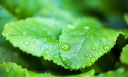 Green leaves with dew drops Stock Photography