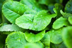 Green leaves with dew drops Stock Photo