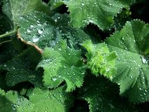 Green leaves with dew drops. Close up on green leaves with dew drops on top Stock Image
