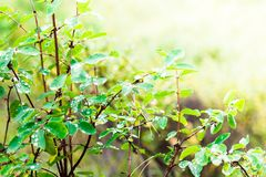 Green leaves with dew drops in the morning forest. Royalty Free Stock Photography
