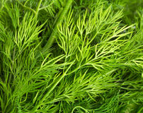 Green leaves of dill Stock Photo