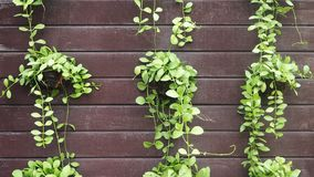 Green leaves of Dischidia nummularia. Dischidia nummularia or string of nickels creeping green plant in pot hanging on wood wall.  stock photography