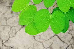 Green leaves on dried land background Royalty Free Stock Photo