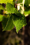 Green leaves with droplets Stock Images