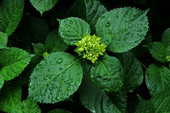 Green leaves with drops royalty free stock photo