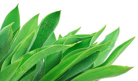 Green leaves with drops Royalty Free Stock Image
