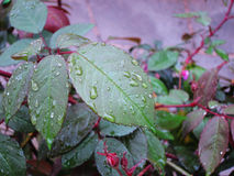 Green leaves with drops of water. The beautiful flowers of the rain Stock Photos
