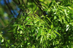 Green leaves. Eco background of willow leaves in a sunny spring day in park Moscow, Russia stock photography
