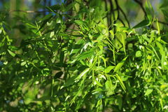 Green leaves. Eco background of willow leaves in a sunny spring day in park Moscow, Russia stock photos