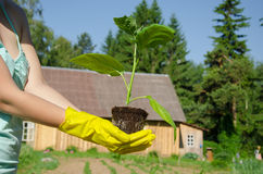 Green leaves eggplant seedling on woman hands Royalty Free Stock Photography
