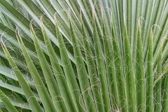 Green leaves of evergreen Yucca plant with curly fibers. Texture. Green sharp leaves of evergreen Yucca plant with curly fibers. Texture stock image