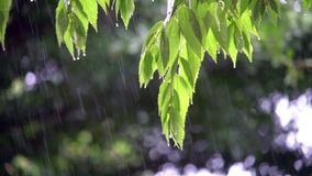 Green leaves with falling drops. Background stock video
