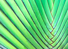 Green leaves of the Fan Palm, also known as Traveller`s Tree or Ravenala. stock photo