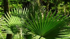 Green leaves fan palm swinging in the wind. Green leaves fan palm trees swaying in the wind in the sun stock footage