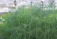 Green leaves of fennel plants Stock Image